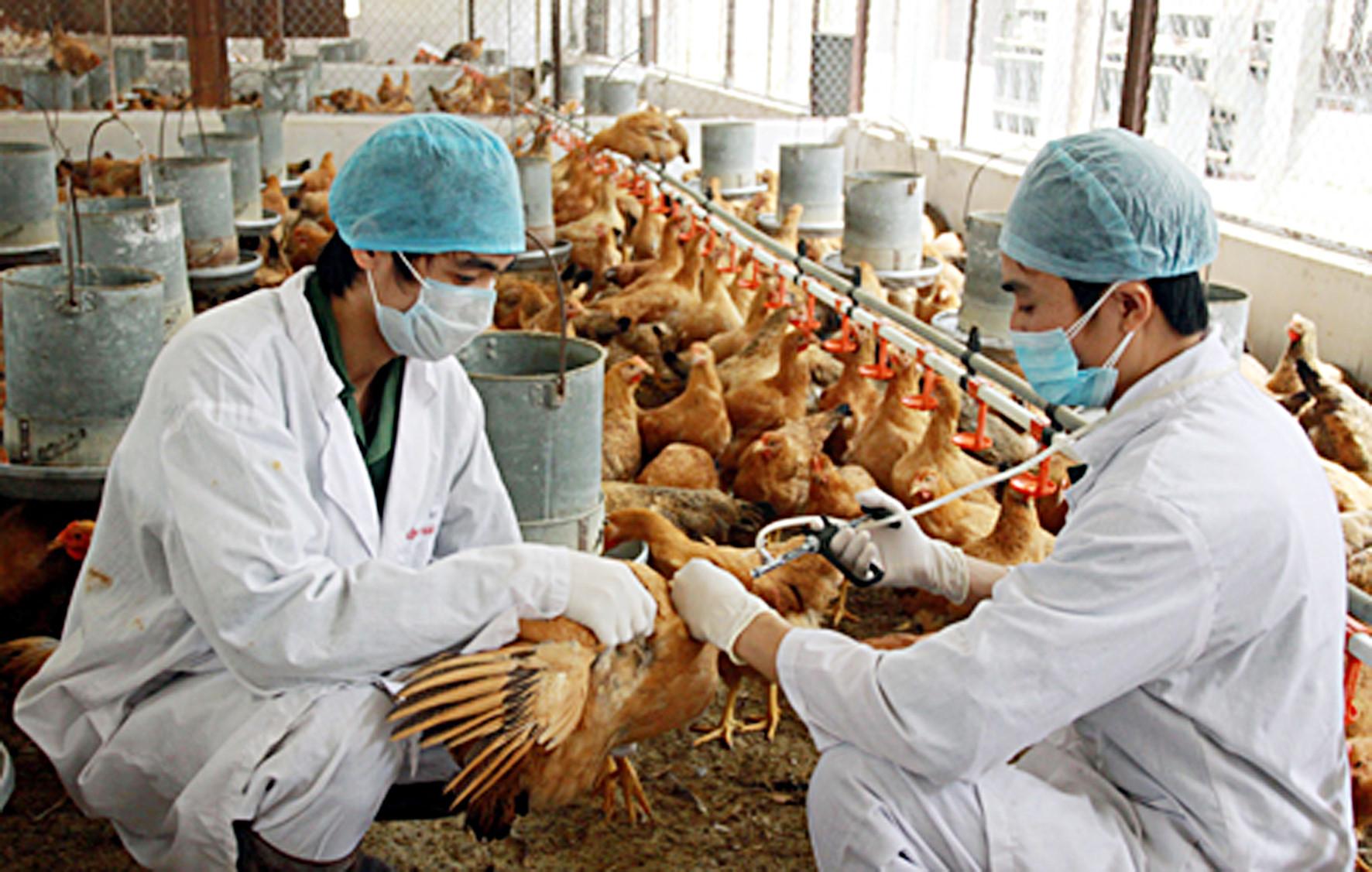 tiêm phòng vaccine cho gà