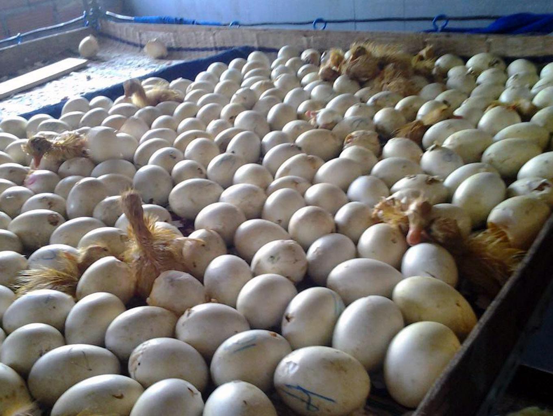 Dảo trứng khi ấp nở