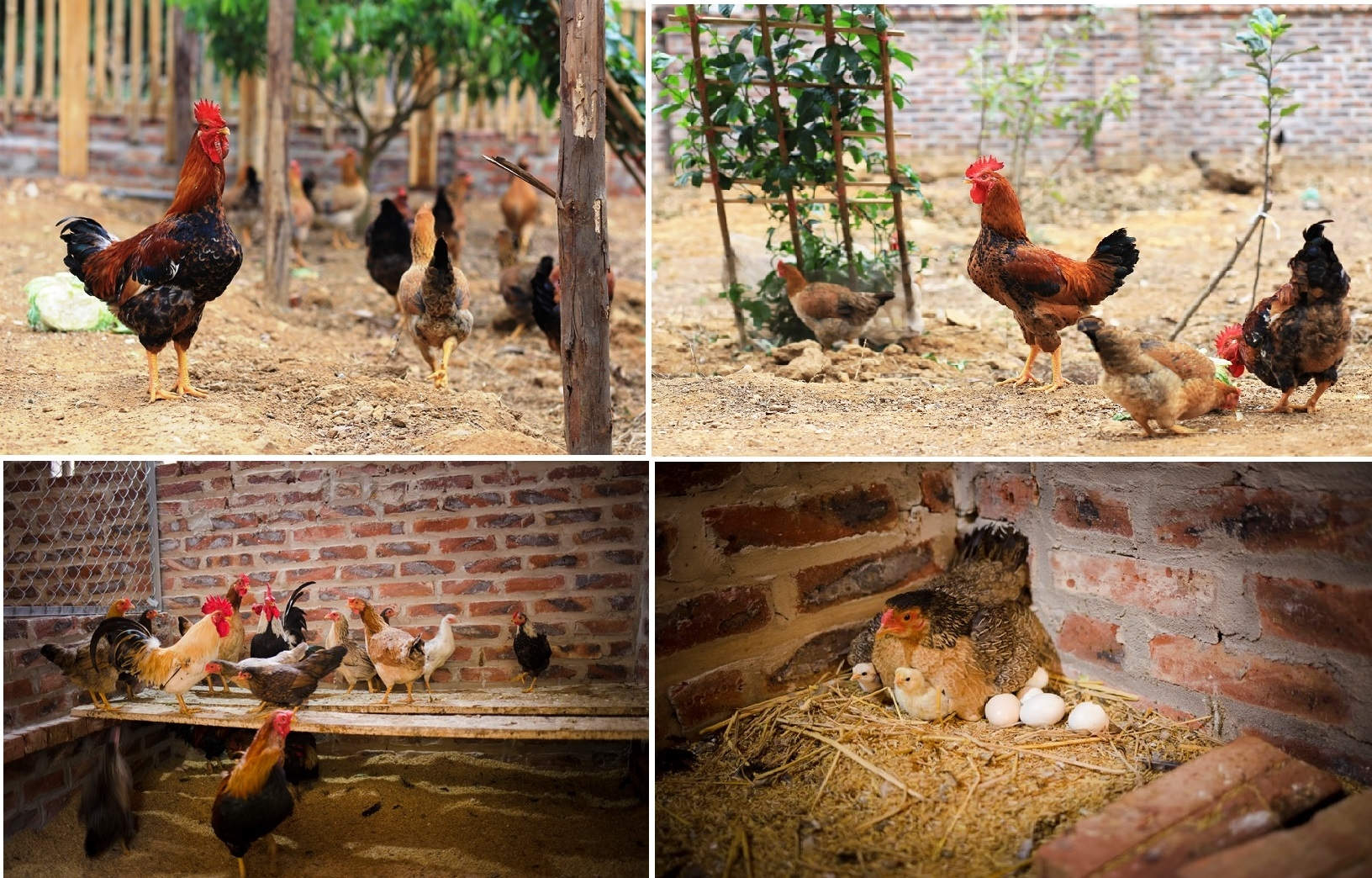 Chăn nuôi gà trong nông hộ