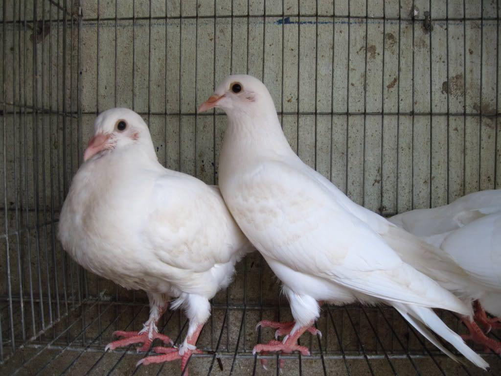 phân biệt giới tính bồ câu