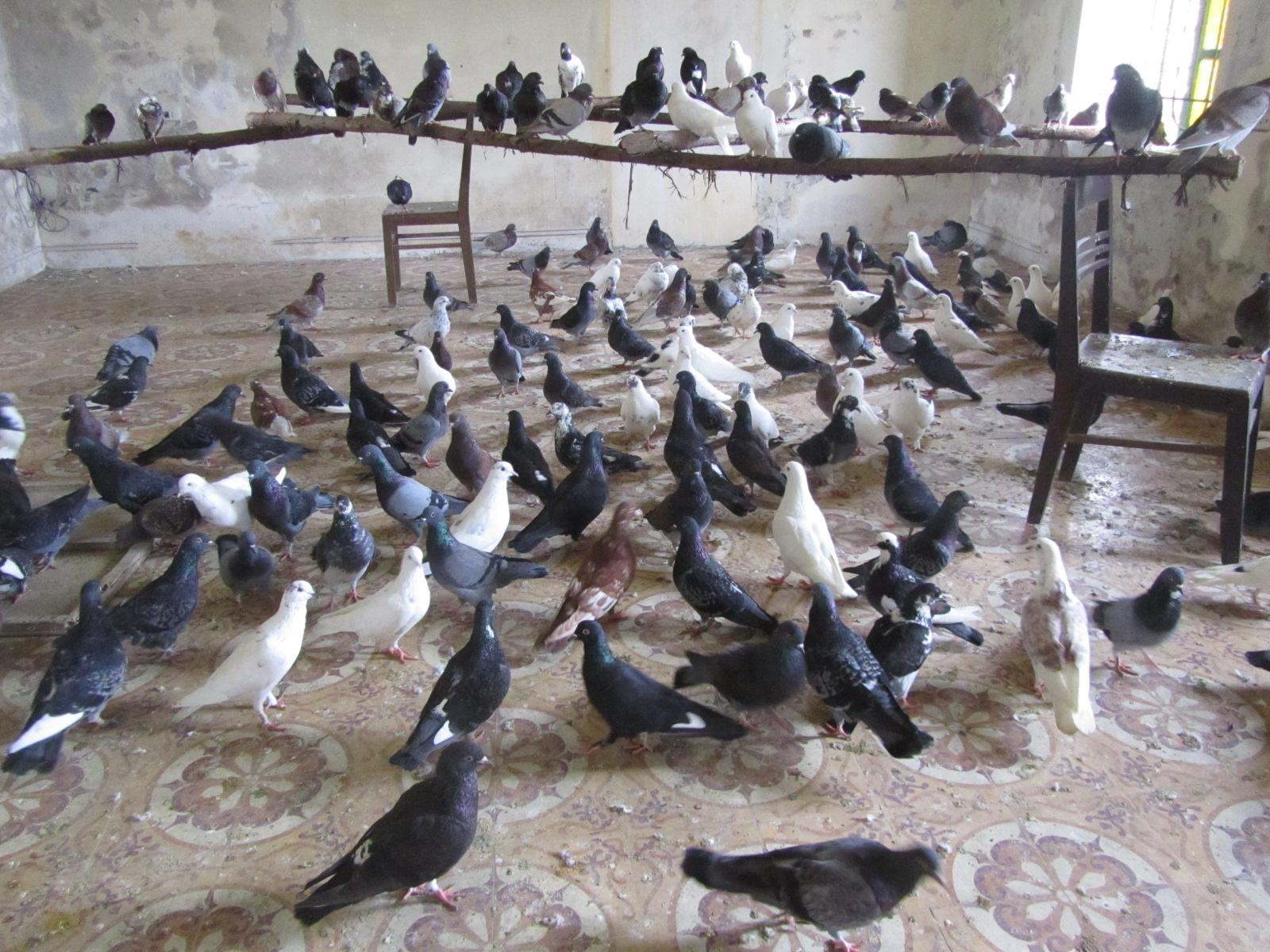 Chim bồ câu thịt