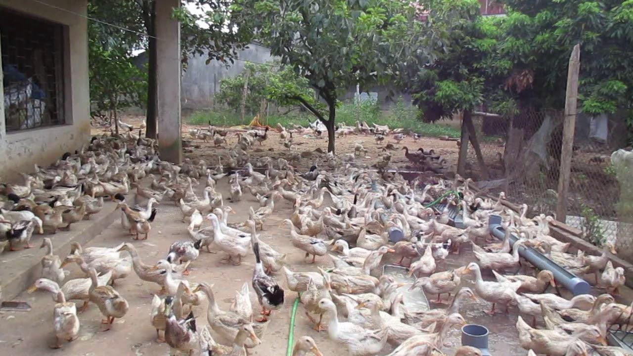 Chăn nuôi vịt siêu trứng