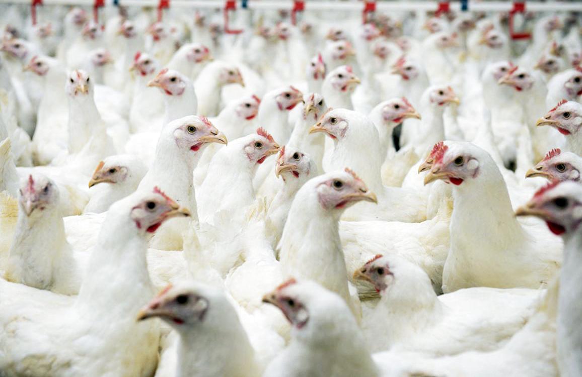 kỹ thuật nuôi gà công nghiệp