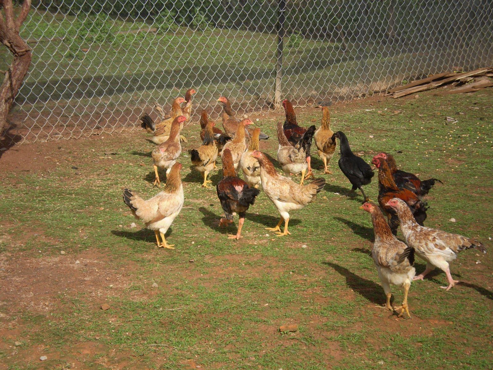 Kỹ thuật nuôi gà thả vườn thịt