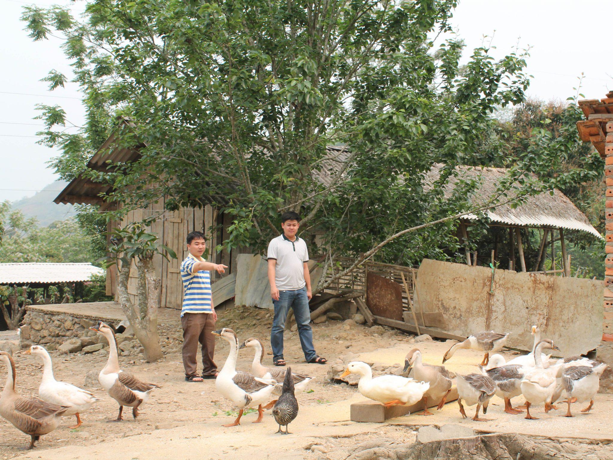 Chăn nuôi ngỗng trong nông hộ