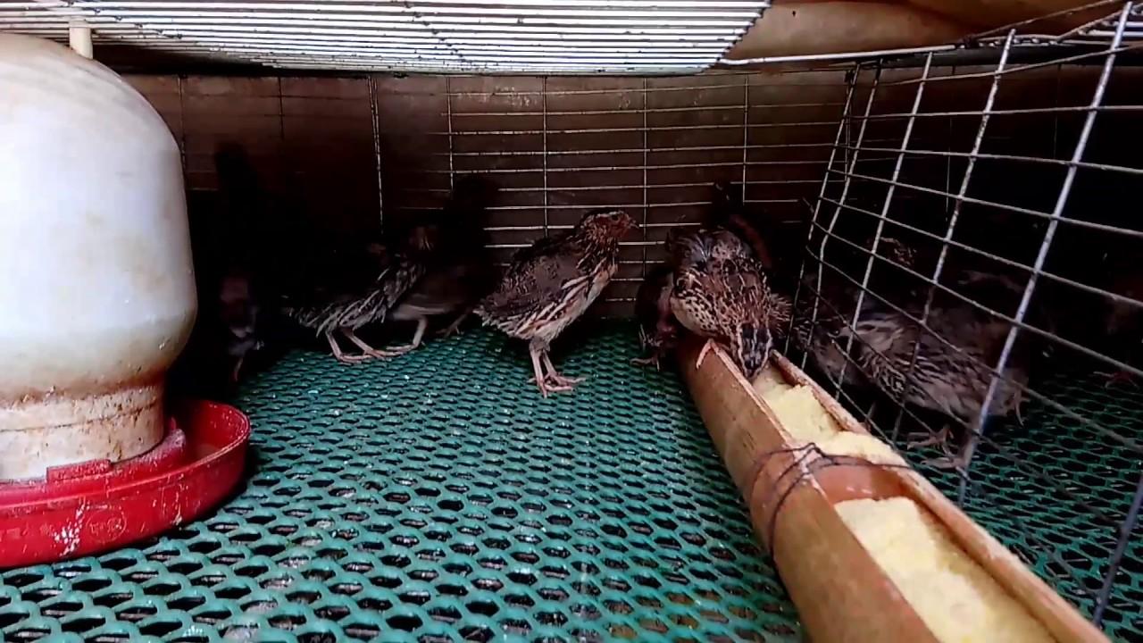nuôi chim cút đẻ