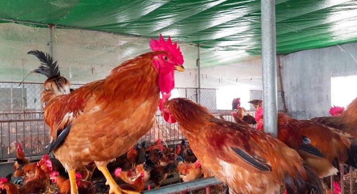 Cách thức phòng bệnh cho gà thịt hiệu quả