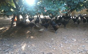 Chăn nuôi gà h'mông