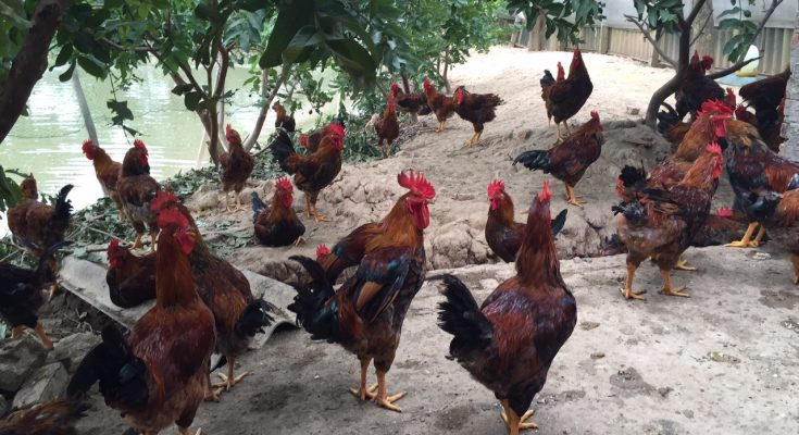Chăn nuôi gà mía