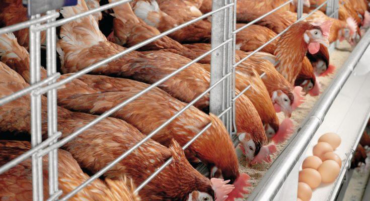 Chăn nuôi gà đẻ công nghiệp