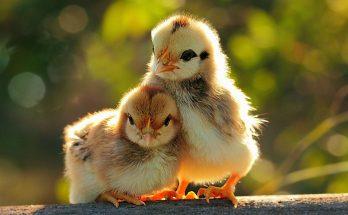 Nhứng tổ hợp gà lai gà phổ biến hiện nay