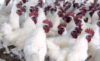 Chăn nuôi gà ác
