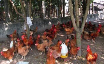 Hiệu quả kinh tế chăn nuôi giống gà ta