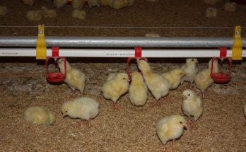 Nâng cao sức khỏe cho gà con