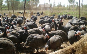 Chăn nuôi gà sao thương phẩm
